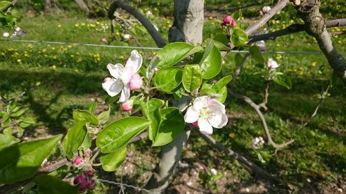 Fleurs de pommier avant les gelées