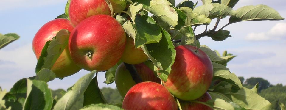 Des pommes pleine de goût et de vitamines ! Ambassy, Cybèle, Gala, Primgold, Elstar, Pinkgold, Jonagored, Suntan, Fuji, La Flamboyante, Belchard-Chanteclerc, Maririred-Braeburn et Goldrush.