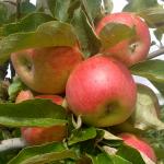 Pomme Cybèle