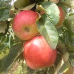 Pomme Ambassy