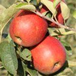 Pomme Maririred-Braeburn