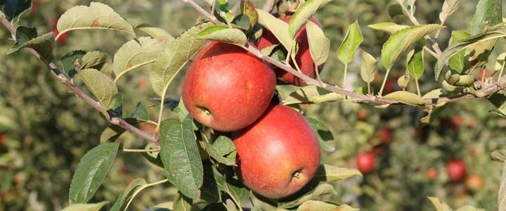 Comment bien cueillir pommes et poires au verger