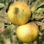 Pomme Belchard-Chanteclerc