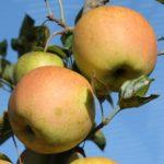 Pomme Pinkgold