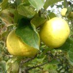 Pomme Primgold