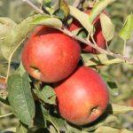 Trois pommes rouges ssur une branche