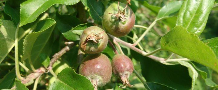 Bilan de début juin de la production fruitière 2018