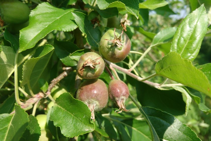 État d'avancement des pommes (22 mai 2018)